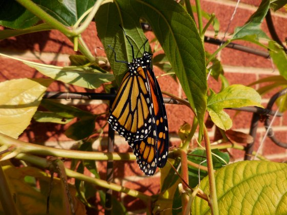newly emerged Monarch butterfly female.