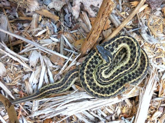 eastern-garter-snake