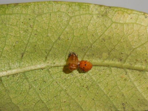 ladybug with exoskeleton