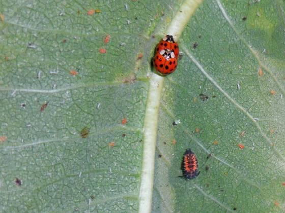 ladybugs mating with ladybug larvae