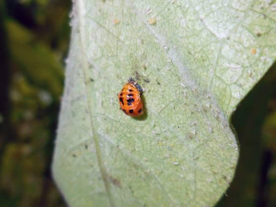 ladybug larve shedding exoskeleton