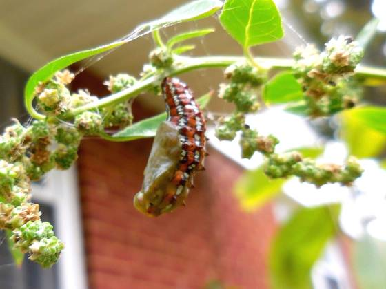 variegated fritillary starting a chrysalis