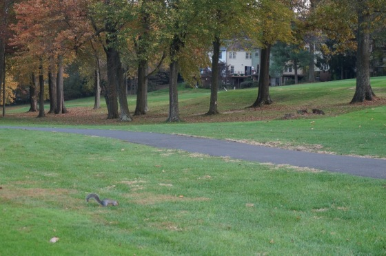 Eastern Gray Squirrel on Reston National Golf Course