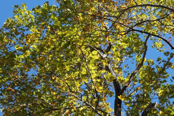 Tulip tree yellow poplar in fall color