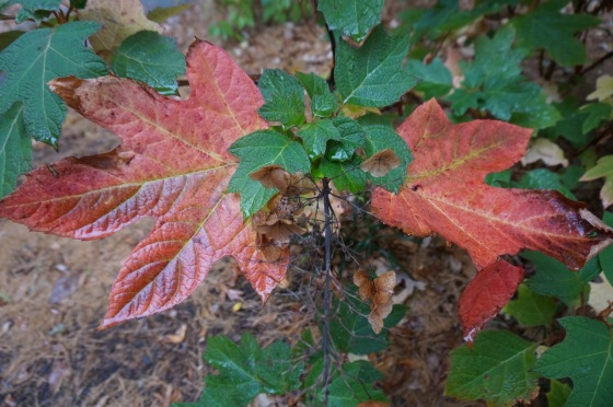 Oakleaf Hydrangea in fall color
