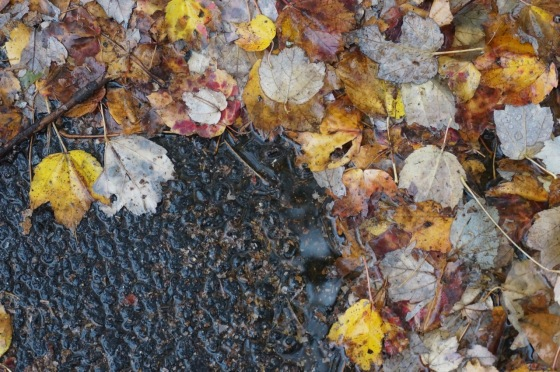 downed maple leaves in rain