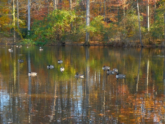 Canada Geese on pond in fall color