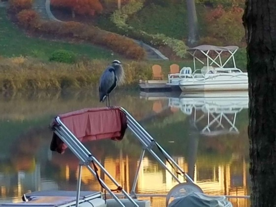 Great Blue Heron on Lake Audubon