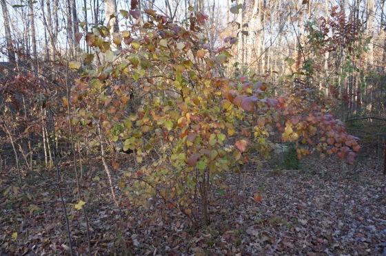 Arrowwood Viburnum native shrub