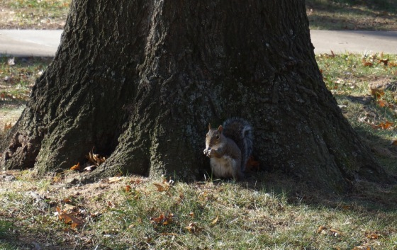 Eastern Gray Squirrel eating acorn